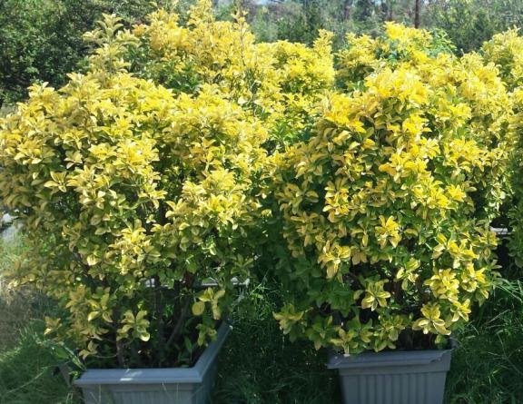 فروش درخت شمشاد طلایی